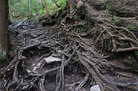 Enchevêtrement de racines sur le sentier