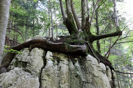 Sur le sentier de retour, rencontre insolite avec un arbre qui pousse sur un bloc de rocher
